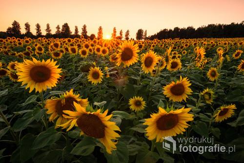 Pole słoneczników na Jurze Krakowsko-Częstochowskiej w czasie zachodu słońca.