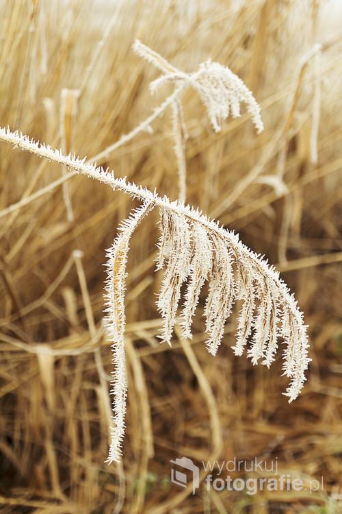 Zimowy oddech na rzecznych trzcinowiskach.