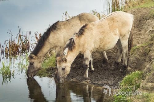 Para koników polskich, pijąca wodę z rzeki.