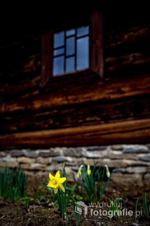 Żonkil to wspaniały symbol wiosny.