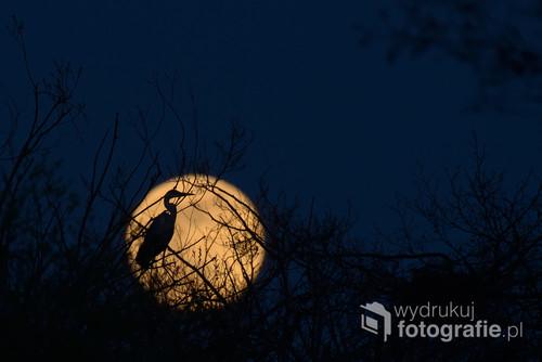 Czapla siwa sfotografowana na tle wschodzącego księżyca jeden dzień przed pełnią. Fotografia wykonana w Dolinie Dolnej Pilicy, w starym czaplińcu - kolonii lęgowej.