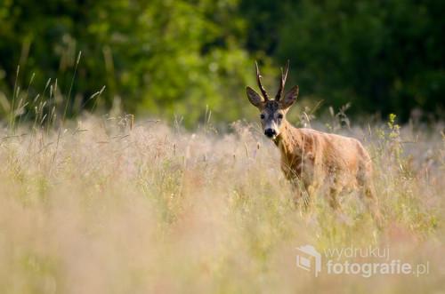 Poranek w łąkach Doliny Pilicy. Dźwięk aparatu wybudza kozła sarny z porannej drzemki wśród wysokich traw... Nie boi się... Jest niezadowolony...