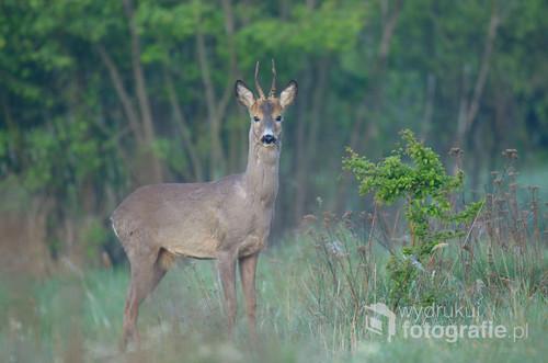 Fotografia wykonana w kwietniowym poranku. Samiec sarny poruszał się powoli, co chwilę żerując na świeżych pędach krzewów. Spojrzał badawczo w moim kierunku, kiedy usłyszał klapnięcie lustra aparatu.