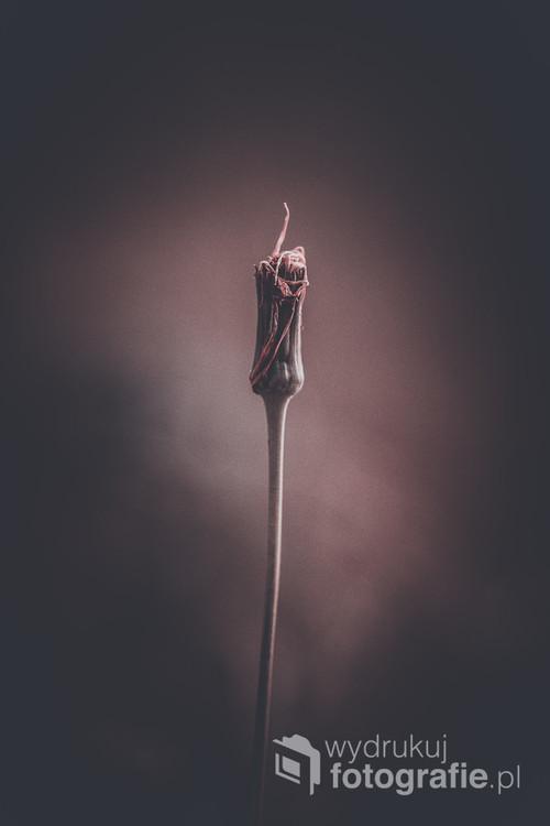 Kwiat w zamglonych odcieniach ciemnego różu i bordo, nada romantycznego nastroju w miejscu, w którym się znajdzie.