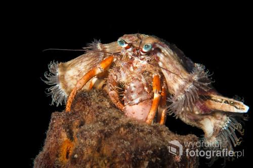 Krab pustelnik - Lembeh Strait Indonezja. Nocne zdjęcie. Zdjęcie brało udział w wystawach i było publikowane w albumie fotograficznym