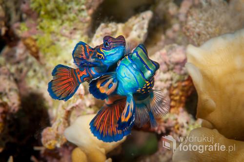 Podwodne zdjęcie  najbardziej kolorowych ryb w oceanie- mandarin fish- w chwili kopujacji. Togian Islands Indonezja. Zdjęcie brało udział w wystawach i było publikowane w albumie fotograficznym