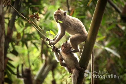 Małpy w balijskim lesie.