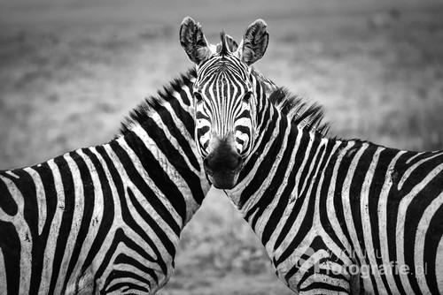 Krater Ngorongoro w północnej Tanzanii. Dwie bawiące się zebry uchwycone w zabawnej pozycji, wyglądają jak jedno zwierze o dwóch ciałach i jednej głowie.
