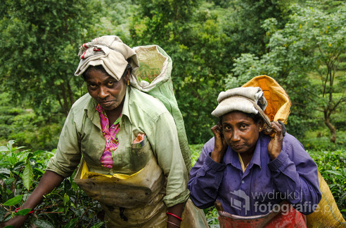Tamilki przy zbieraniu herbaty w miejscowości Ella, Sri Lanka 2015