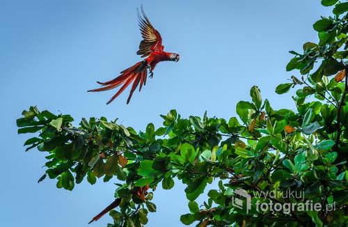 Ara czerwona w locie, Kostaryka 2015
