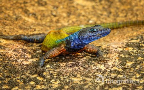 Kolorowa jaszczurka w Parku Narodowym Matopos (Matobo), Zimbabwe 2013