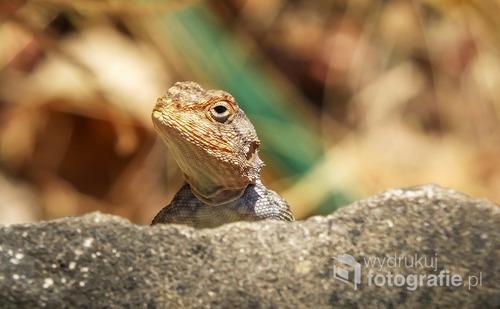 Jaszczurka w Parku Narodowym Matopos (Matobo), Zimbabwe 2012