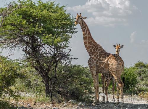 Żyrafy w Parku Narodowym Etosha, Namibia 2013