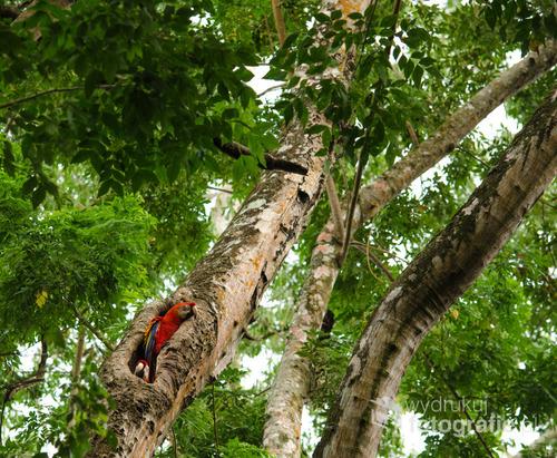 Para ar w gnieździe, Kostaryka 2015