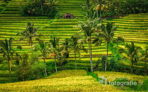 Tarasy ryżowe Jatiluwih - Bali, Indonezja 2016