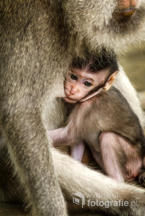 Młody przedstawiciel makaków wraz z mamą w słynnym Monkey Forest w Ubud. Bali, Indonezja 2016