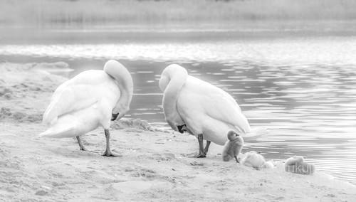 Rodzina łabędzi w Roztoczańskim Parku Narodowym 2018
