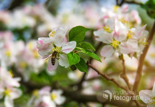 Kwiaty wiśni - maj 2019