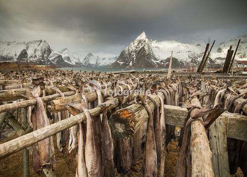 Lofoty, Nordland - Norwegia 2015. Krajobraz Lofotów w okresie od lutego do maja zapiera dech w piersiach. Dodatkiem do majestatycznej natury są suszone ryby zwane sztokfiszem, które wiszą na żerdziach. Poruszane przez wiatr ocierają się o siebie, wydając charakterystyczny odgłos nazwany przez mojego kolegę