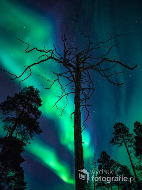 Zdjęcie zostało wykonane w północnej Finlandii. Na zdjęciu znajduje się martwa sosna, takich drzew nie wolno ścinać chociaż były by fantastycznym budulcem, są swoistym pomnikiem przyrody mogą stać jeszcze kilkaset lat od kiedy spadnie z nich ostatnia igiełka. Jest coś co mnie w tych drzewach fascynuje, przybierają ciekawe i niespotykane kształty pokręcone ze starości gałęzie, szare, srebrne pnie  wytrawione przez mroźne wiatry w połączeniu z magiczną zorzą polarna tańczącą na niebie dają mi zawsze powód do zachwytu.