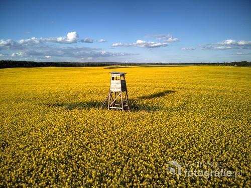 Fotografia przedstawia pole rzepaku niedaleko wsi Róża Wielka w woj. wielkopolskim.