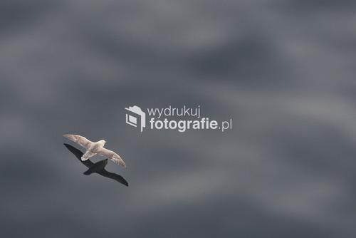 Fulmar szybujący nad wodami Atlantyku, Wyspy Owcze