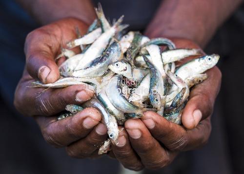 Targ rybny, Sprzedawca pokazuje co ma do zaoferowania; negombo, Sri lanka