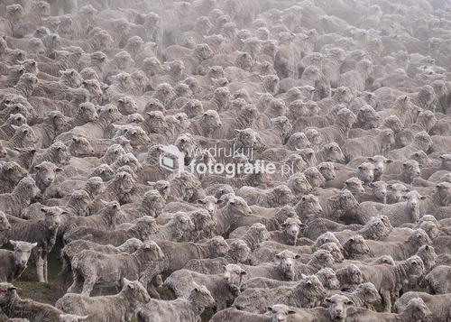 Stado owiec, Nowa Zelandia. Zdjęcie nagordzone w Grand Press Photo 2011