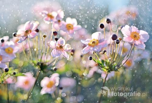 Anemony to jedne z moich ulubionych kwiatów - mam do nich wyjątkową słabość i często je fotografuję. Są bardzo wdzięcznym obiektem! A że rosną w moim ogrodzie, mam ku temu naprawdę sporo okazji.