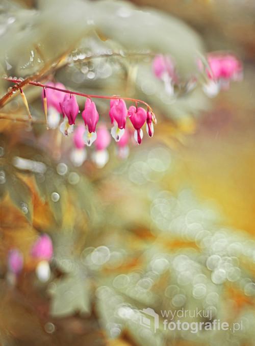 I kolejna wdzięczna mieszkanka mojego ogrodu - roślinka dla zakochanych, której kwiaty do złudzenia przypominają serduszka. Zdjęcie z poranka, kiedy wszystko pokryte jest rosą, a słońce dopiero wschodzi.