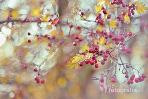 Uwielbiam głogi... Rok w rok fotografuję je z takim samym zapałem i przyjemnością. Miło wracać w odwiedziny do znajomych drzew... Ta fotografia powstała jesienią 2018.