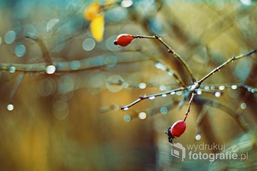 Deszczowy, jesienny poranek dostał ode mnie nieco koloru - tak powstały lekko abstrakcyjne dzikie róże.