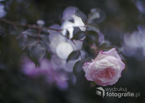 Samotna, trochę smutna, róża z późnego lata.