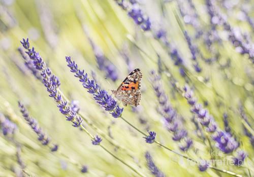 Motyle i lawenda to w moim ogrodzie duet, który od lat wiedzie prym w narzucaniu mi tematyki letnich zdjęć. Z przyjemnością tonę w fioletowym morzu...