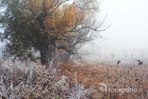 Jesień jeszcze? Czy może już zima...? Piękne stare drzewo, które odwiedzam na trasie moich spacerów...