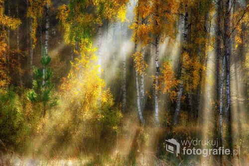 Jesienne świtanie w brzozowym lesie