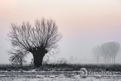 Zimowy mazowiecki krajobraz. Mglisty poranek i samotna wierzba.
