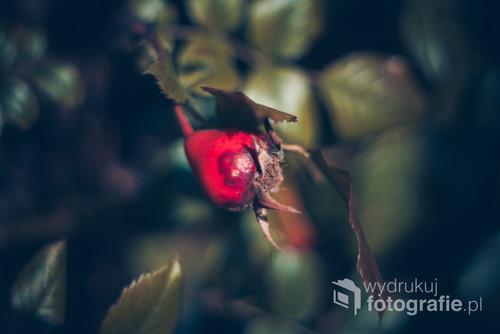 Zdjęcie owocu róży która dostała drugą szansę. Piękno które minęło.