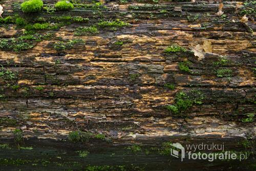 Stare drzewo, które upadło i próchnieje. Tak właśnie wygląda, Naturalna faktura lasu. Odwieczny cykl życia i śmierci. Całkowite wypełnienie zdjęcia jednym tematem pozwala na wiele zastosowań. Prawie jednolity kolor oraz ciekawa faktura drzewa sprawiają, że zdjęcia pasuje chyba do wszystkiego :-) Fotka z Puszczy Niepołomickiej.