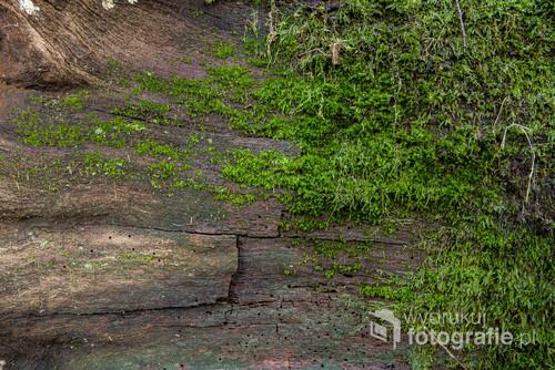 Kawałek lasu na własnej ścianie. Takie właśnie jest to zdjęcie. Można powiesić zdjęcia we własnym pokoju i obserwować, jak mech zdobywa kolejne przyczółki na powierzchni starego drzewa. Jak w lesie, jak w naturze. Fotka z Puszczy Niepołomickiej.