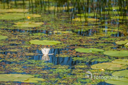 Kwiat lotosu w czarnogórskim jeziorze Szkoderskim.