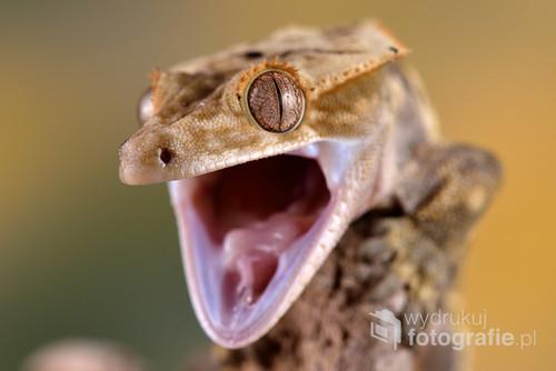 Zdjęcie gekona orzęsionego