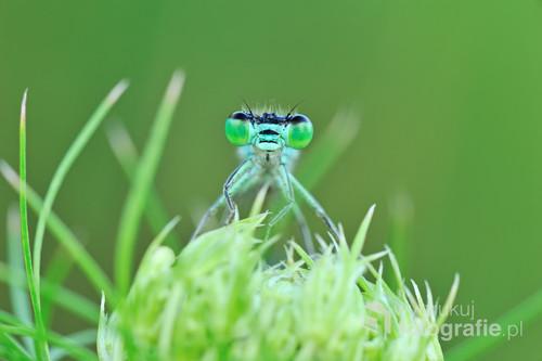 Ważki równoskrzydłe (Zygoptera) – podrząd owadów z rzędu ważek (Odonata). Charakteryzują się długim i szczupłym ciałem, a także tym, że obie pary ich skrzydeł mają podobny kształt i rozmiar oraz są mocno zwężone u nasady]. Kiedy ważki te odpoczywają, składają skrzydła nad odwłokiem (u pałątkowatych pozostają lekko rozchylone). Mają zdolność poruszania nimi w różnych płaszczyznach, co daje im duże zdolności manerwrowania, ale sprawia, że ich lot jest relatywnie słaby