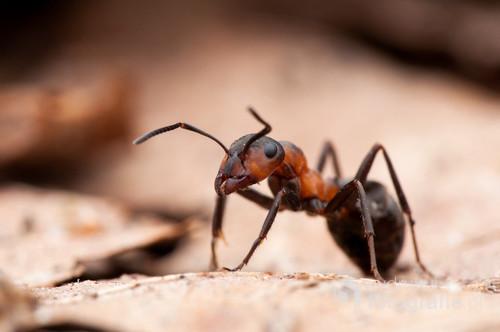 Duże zbliżenie mrówki