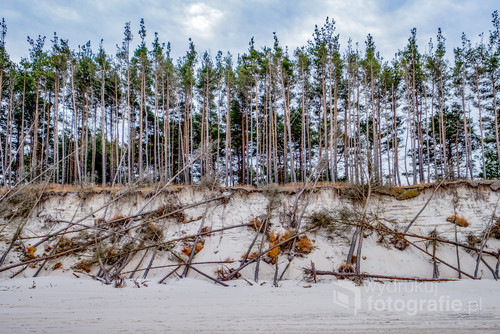 Brzeg wydm pomiędzy morzem Bałtyckim, a rezerwatem Wydm w Łebie. Jest tu wyraźnie pokazana jak natura sama reguluję żywotność drzew bez ingerencji człowieka