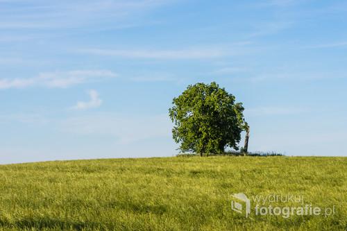 Samotne drzewo na mazurskim polu.