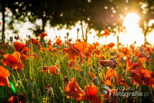 Pole pięknie kwitnących maków w okolicach Grabina koło Ostródy.