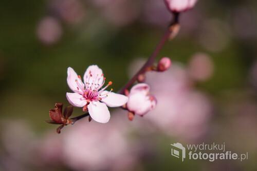 Kwiat dzikiej jabłoni, skromna piękność