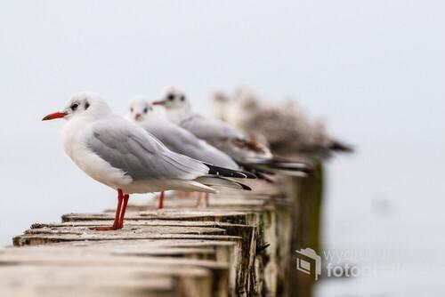 Widoczne na zdjęciu Mewy Śmieszki są w szacie spoczynkowej (poza okresem godowym). Odpoczywają na falochronie na nadbałtyckiej plaży. Zdjęcie wykonano pomiędzy Pobierowem a Trzęsaczem.
