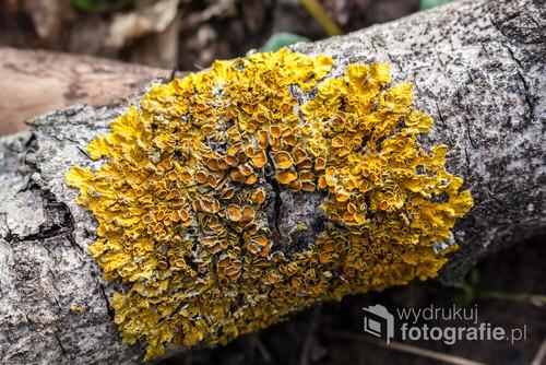 Zlotorost scienny - Common orange lichen (Xanthoria perietina)